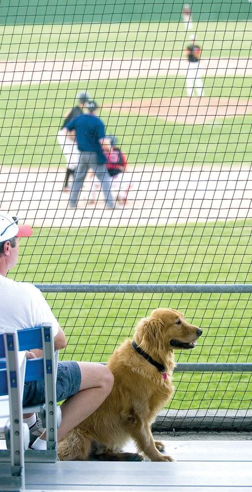 Dozer, the foul ball retrieving dog, sits in the stands at Roughriders\' baseball stadium waiting for the next ball to fly foul. Photo by Nathan Payne, AP.