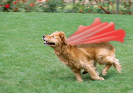 Golden Retriever Trixie Koontz's Super Dog Contest « Land of ...