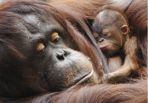 This photo provided by the Chicago Zoological Society shows a newborn female Bornean orangutan curled up with her mother, Sophia, 27, at the Brookfield Zoo in Brookfield, Ill., on Wednesday, Oct. 22, 2008. The female, born on Oct. 6, is only the second birth of an orangutan expected in a North American accredited zoo this year. AP Photo