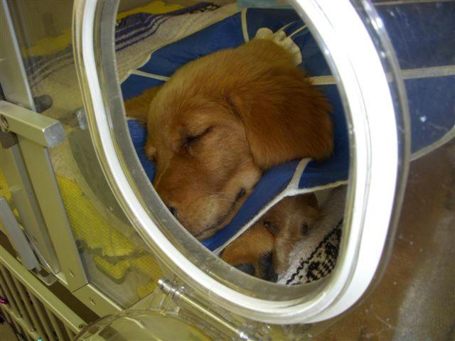 Golden Retriever Puppy Tucker