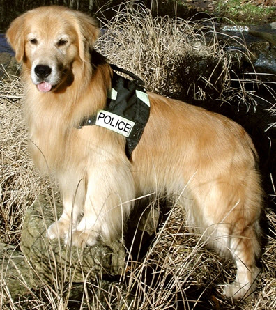K 9 Golden Retriever Can you help Police K9...