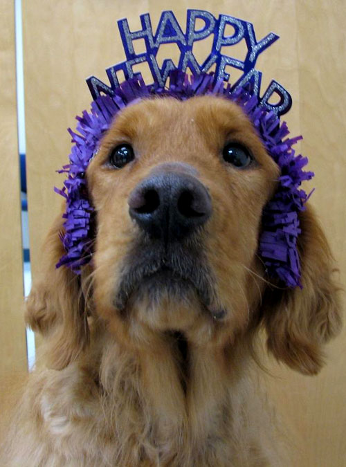Happy New Year (Golden Retriever Rescue style) – Land of ...